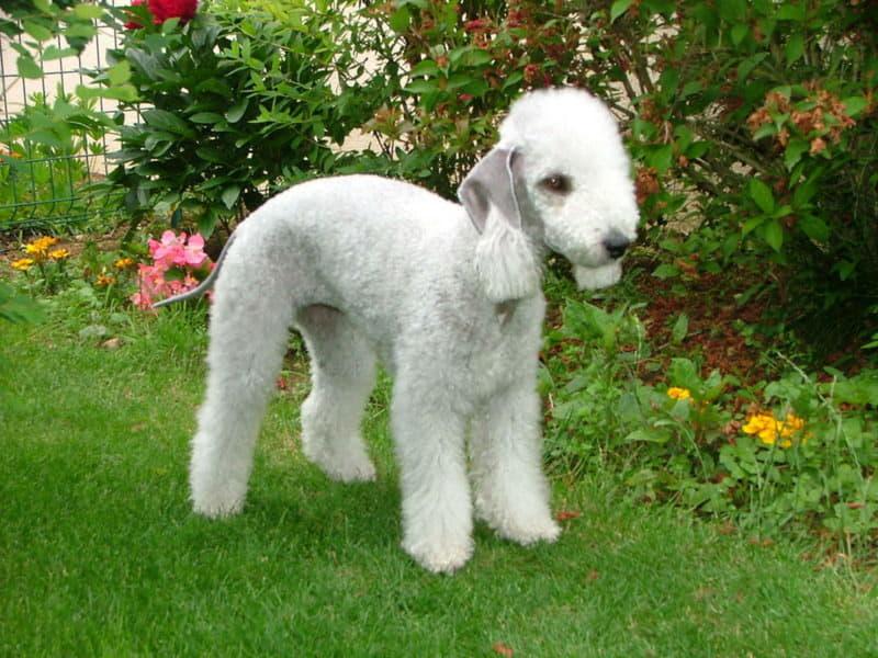 Порода собаки Бедлингтон-терьер