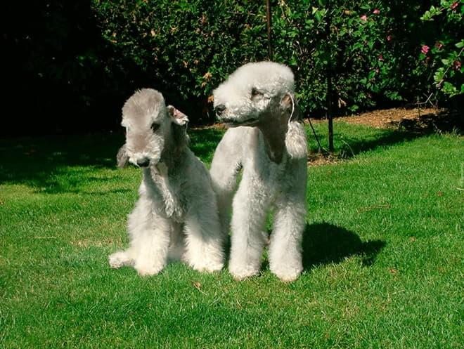 Две собаки породы Бедлингтон-терьер
