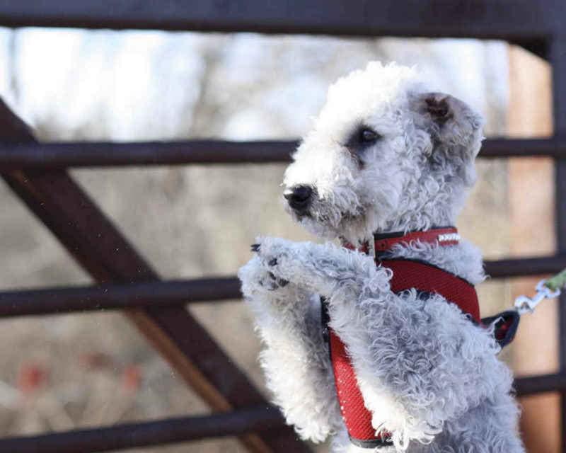 Собака породы Бедлингтон-терьер