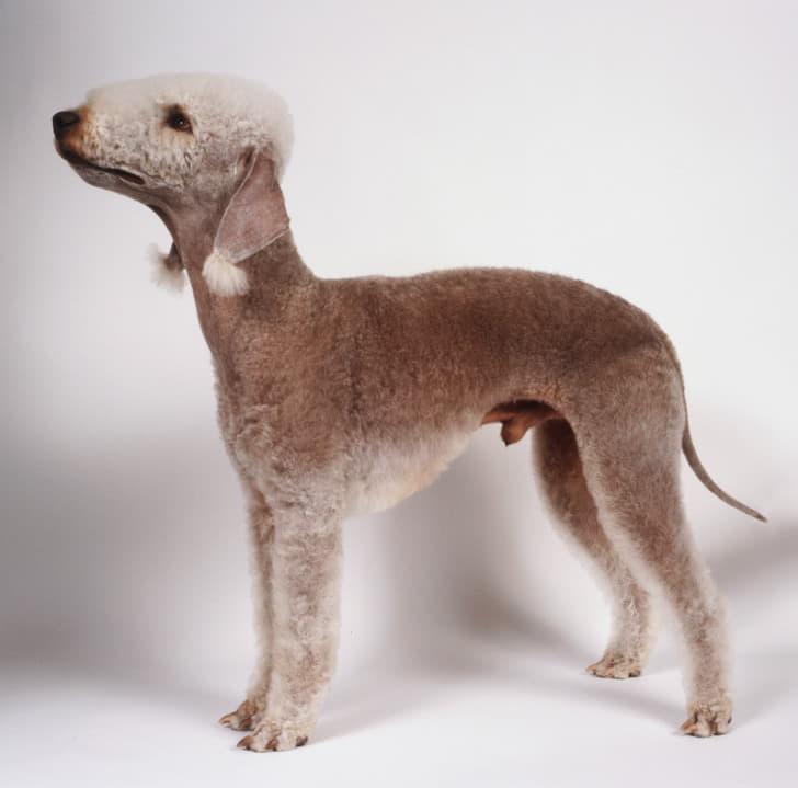 Внешний вид собаки породы Бедлингтон-терьер