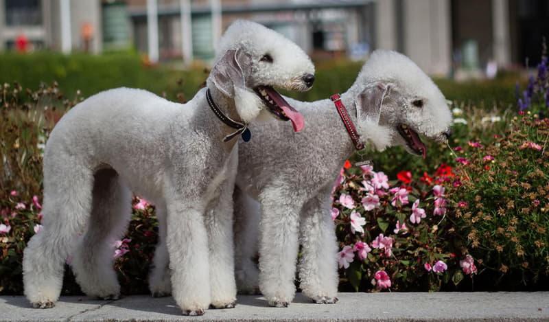 Фотография двух собак породы Бедлингтон-терьер