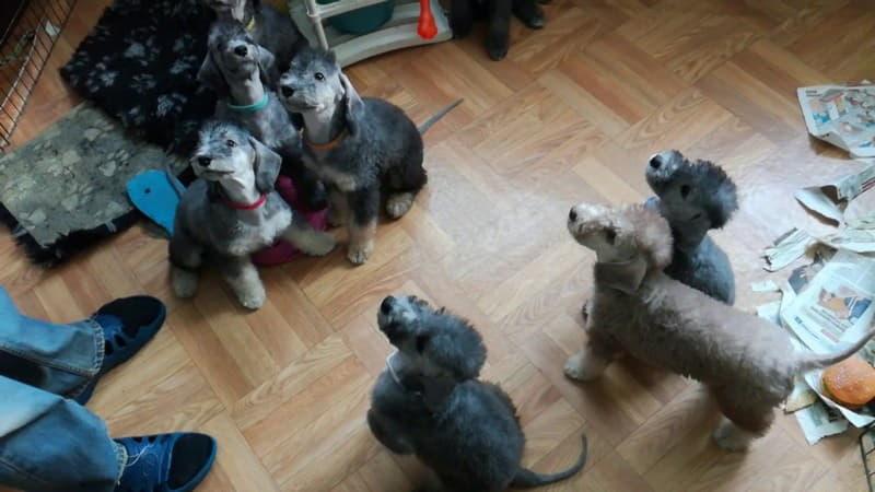 Щенки собаки породы Бедлингтон-терьер