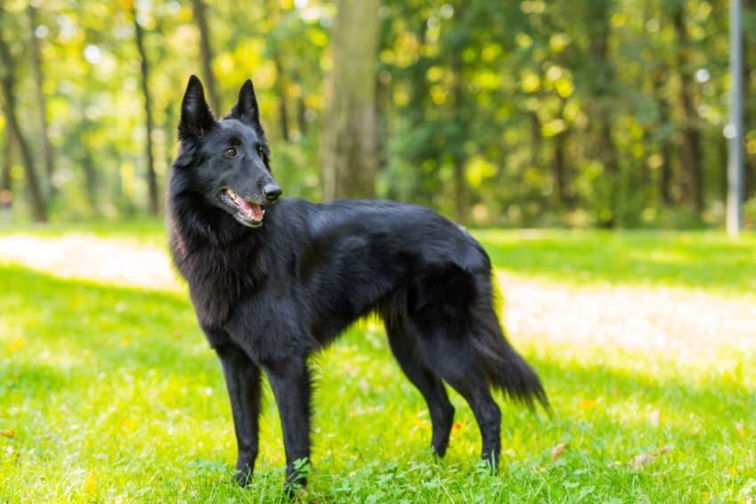 Фото собаки породы Бельгийская овчарка грюнендаль