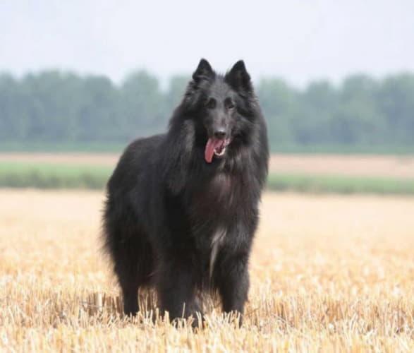 Порода собаки Бельгийская овчарка грюнендаль