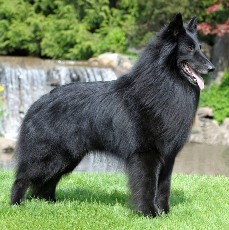 Собака породы грюнендаль