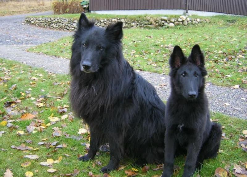 На фото две собаки породы грюнендаль
