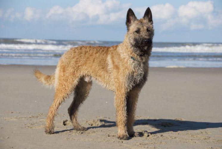 Собака породы Бельгийская овчарка лакенуа