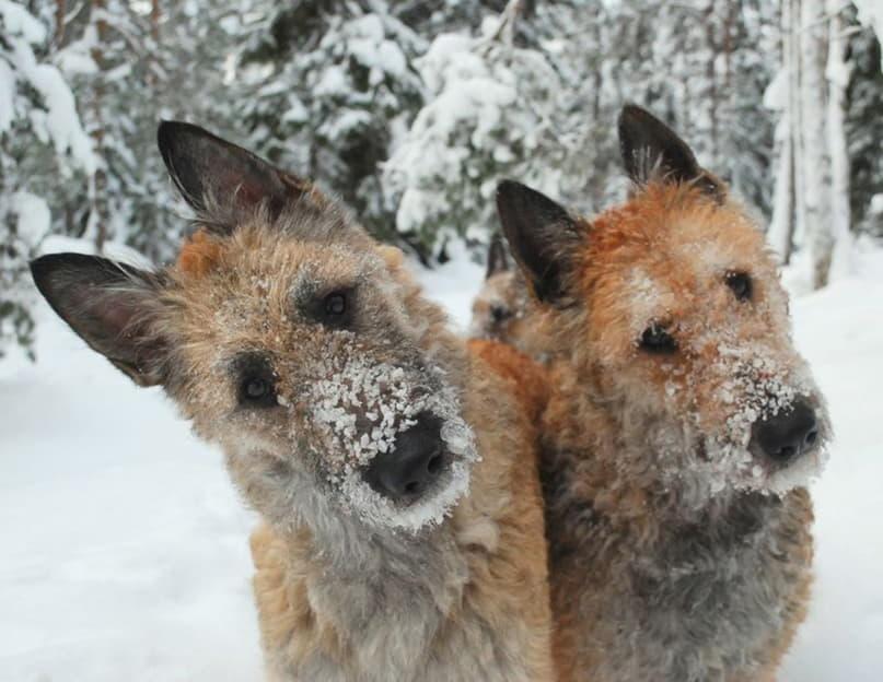 На фото две собаки породы Бельгийская овчарка лакенуа