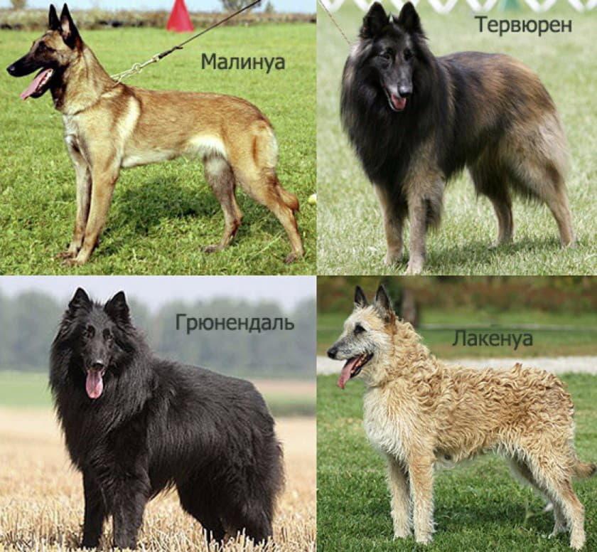 Фото всех бельгийских овчарок: тервюрен, лакенуа, грюнендаль, малинуа