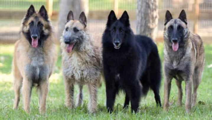 Бельгийские овчарки: тервюрен, лакенуа, грюнендаль, малинуа