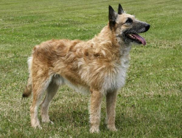 Внешний вид собаки Бельгийская овчарка лакенуа