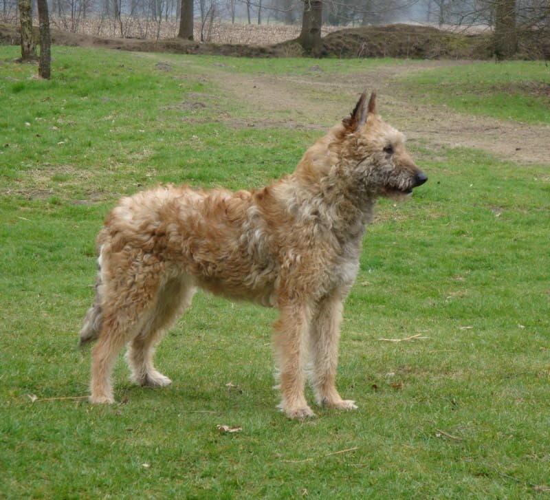 Внешний вид собаки породы Бельгийская овчарка лакенуа