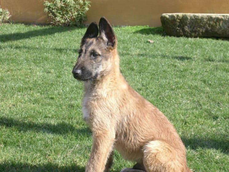 Щенок собаки лакенуа