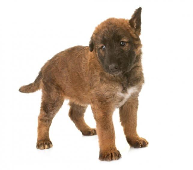 Щенок собаки породы лакенуа