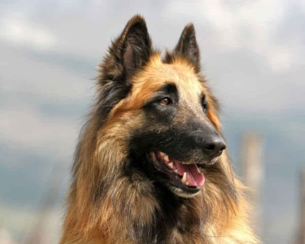 Собака породы Бельгийская овчарка тервюрен