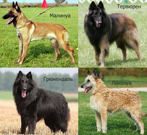 4 вида бельгийских овчарок: малинуа, грюнендаль, тервюрен, лакенуа