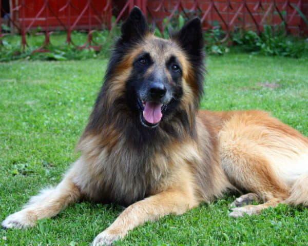 Собака породы Бельгийская овчарка тервюрен лежит на траве