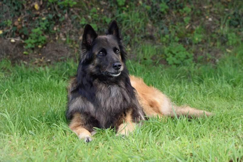 Фотография собаки породы Бельгийская овчарка тервюрен