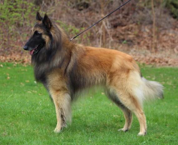Внешний вид собаки породы Бельгийская овчарка тервюрен