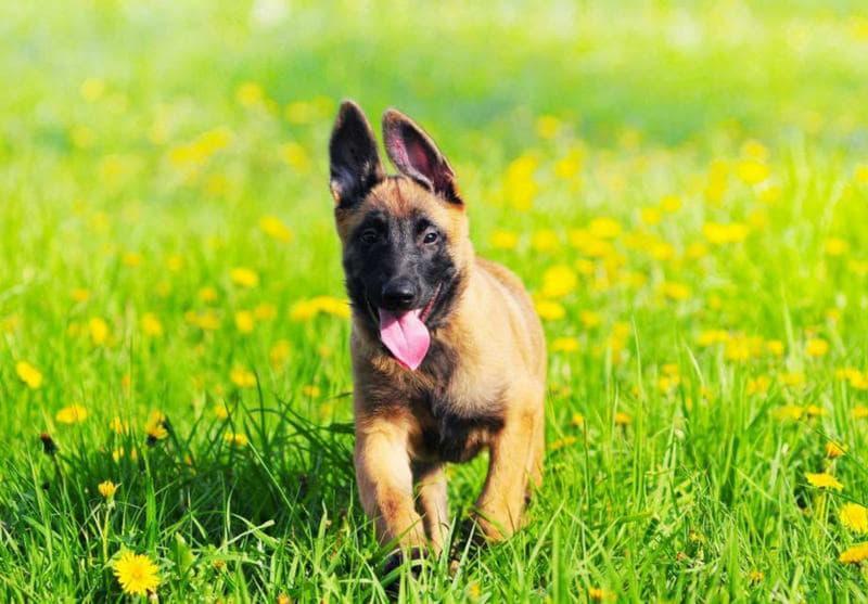 Щенок собаки породы Бельгийская овчарка тервюрен