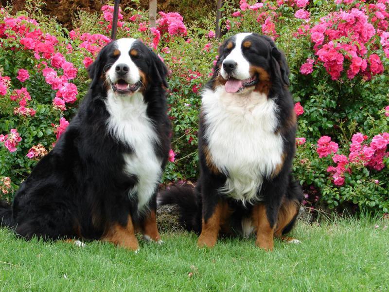 На фотографии две собаки породы Бернский зенненхунд