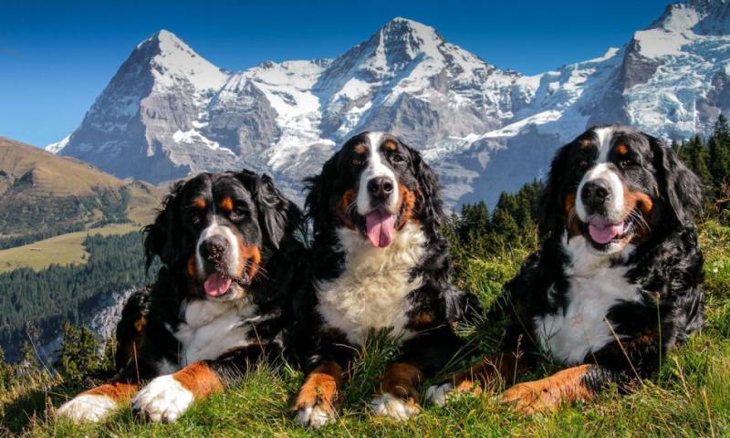 Фотография собак породы Бернский зенненхунд