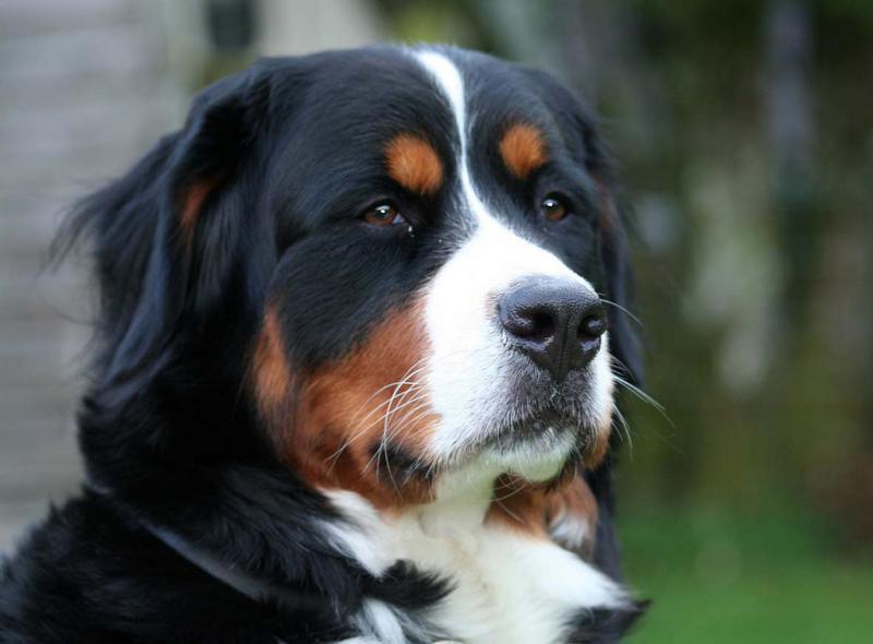 Морда собаки породы Бернский зенненхунд