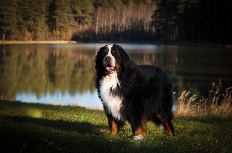Фотография собаки породы Бернский зенненхунд на фоне озера