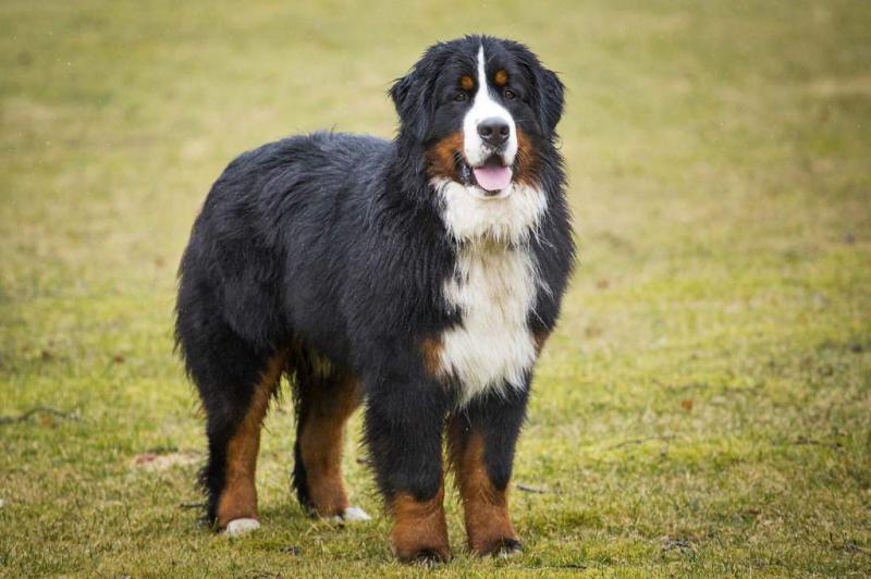 Внешний вид собаки породы Бернский зенненхунд