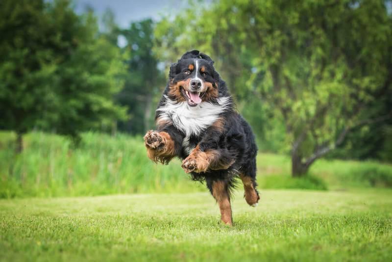 Фотография собаки Бернский зенненхунд
