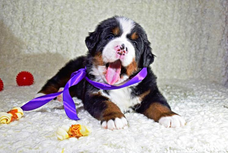 Фотография щенка породы Бернский зенненхунд