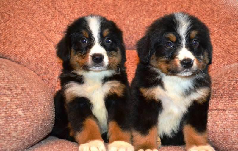 Фотография двух щенков породы Бернский зенненхунд
