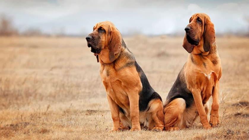 Фотография двух собак породы Бладхаунд