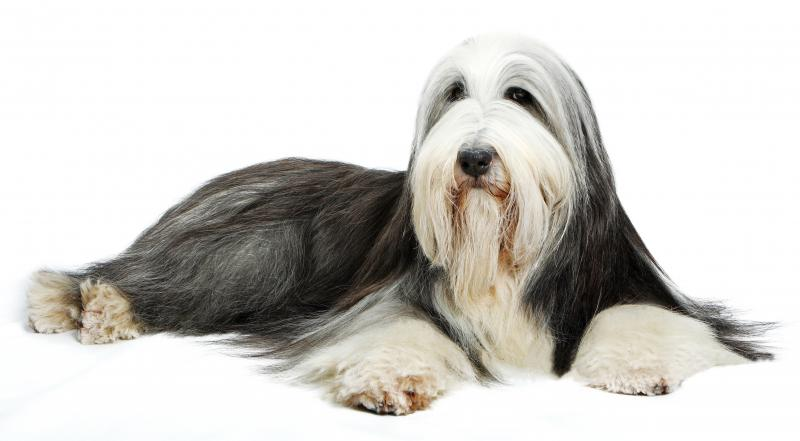 Фотография собаки породы Бобтейл