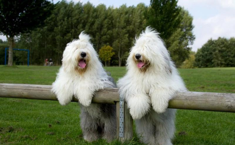 На фотографии две собаки породы Бобтейл