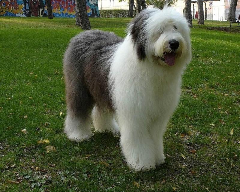 Фотография собаки породы Бобтейл во весь рост