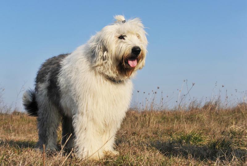 Внешний вид собаки Бобтейл