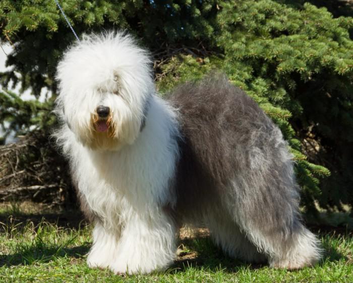 Внешний вид собаки породы Бобтейл