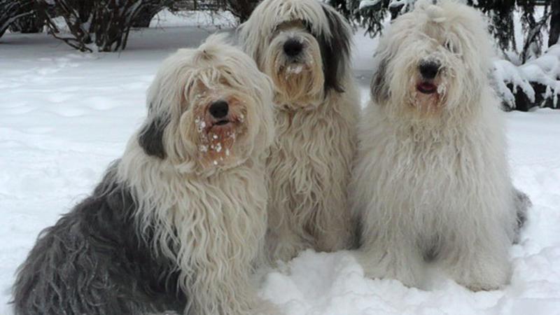Собаки породы Бобтейл на снегу