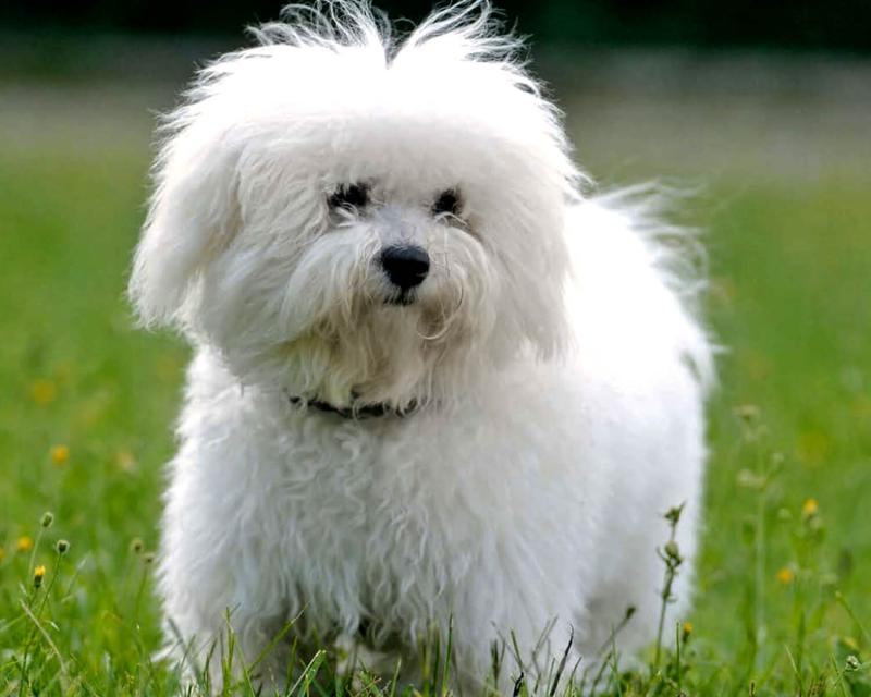 Порода собаки Болоньез
