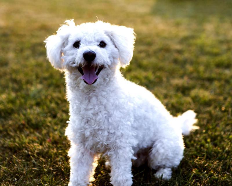 Собака породы Болонский бишон