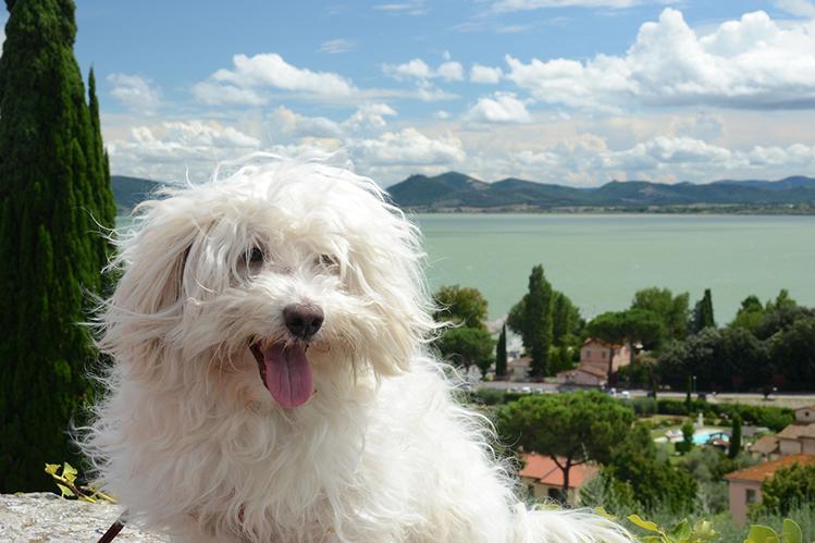 Собака породы итальянская болонка