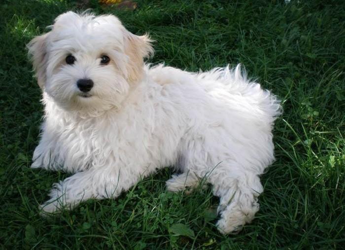 Собака породы Болоньез