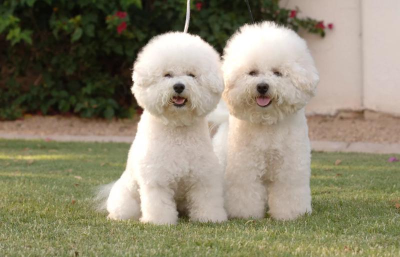 На фотографии две собаки породы Болоньез