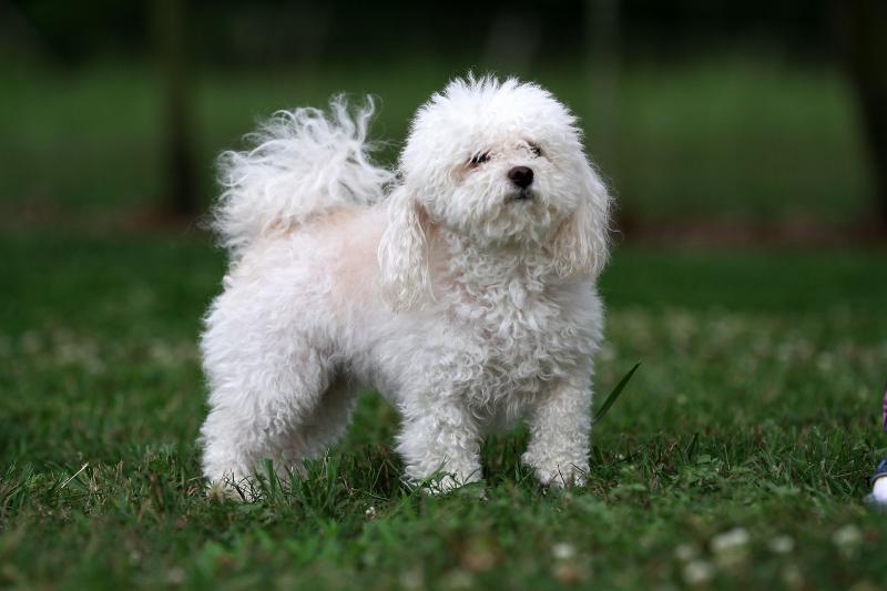 Внешний вид собаки породы итальянская болонка