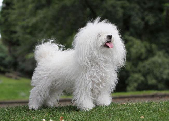 Фото собак породы итальянская болонка