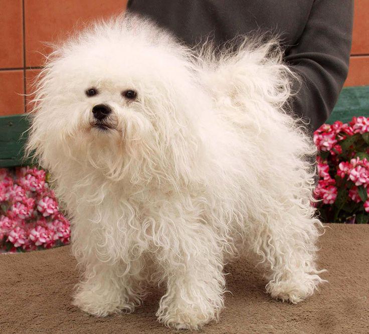 Фотография собаки породы Болонский бишон