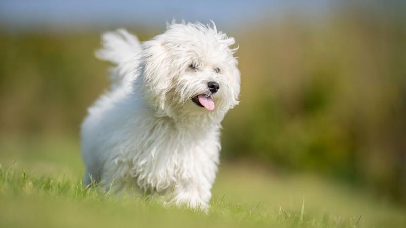 Внешний вид собаки породы Болоньез
