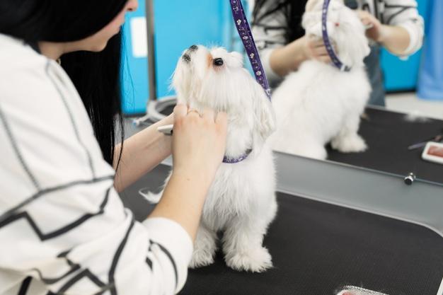 Стрижка собаки породы Болонский бишон