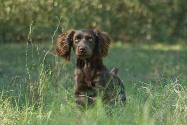 Собака породы Бойкин спаниель